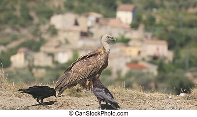 Griffon vulture, Gyps fulvus, Group of birds on floor, Spain, July 2016