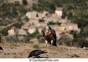 Griffon vulture, Gyps fulvus, Group of birds on floor, Spain...