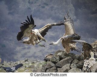 Griffon vulture, Gyps fulvus, group of birds on ground, ...