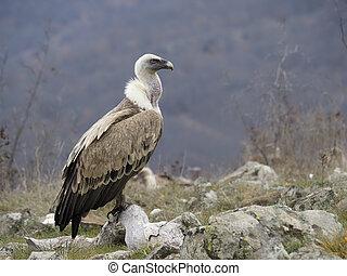 Griffon vulture, Gyps fulvus, single bird on ground, ...