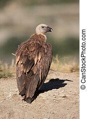 Griffon vulture, Gyps fulvus, single bird on ground, Spain, ...