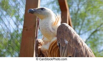 Griffon Vulture in a zoo - Griffon Vulture in a zoo