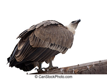 Griffon vulture. Isolated over white - Griffon vulture (Gyps...