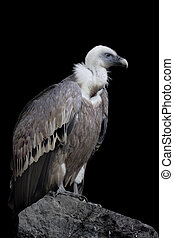Griffon Vulture on the stone over black background.