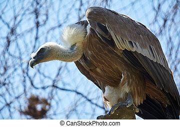Griffon Vulture or Gyps fulvus