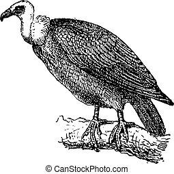 Griffon Vulture or Gyps fulvus, vintage engraving - Griffon...