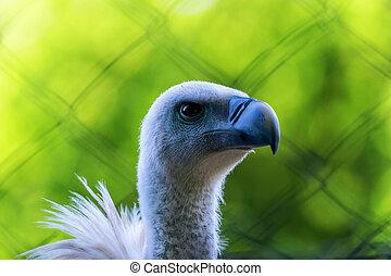 Griffon Vulture?Bird of Prey?in Captivity (Gyps fulvus)