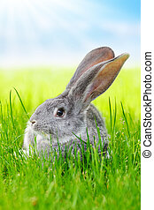 grigio, erba, verde, coniglio, campo