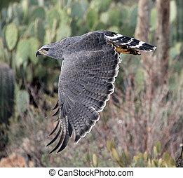 grigio, falco