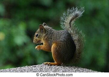 grigio, giapponese, scoiattolo