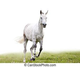 grijs, dapple, paarde, looppas, vrijstaand