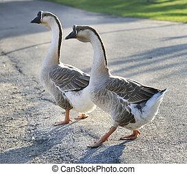 grijs, geese