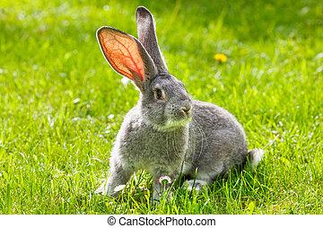 grijs, gras, groene, konijn