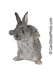 grijs, konijn