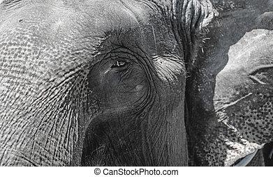 grijs, oog, frame., elefant, groot, huid, rimpelig, horizontaal, close.