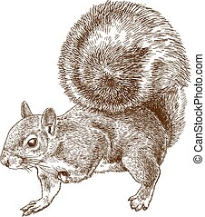 grijs, oostelijk, squirrel, gravure, illustratie