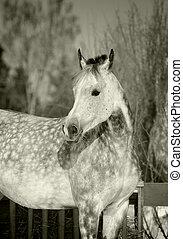 grijs, paarde, arabisch