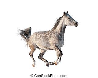 grijs, paarde, arabisch, vrijstaand