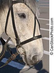 grijs, paarde