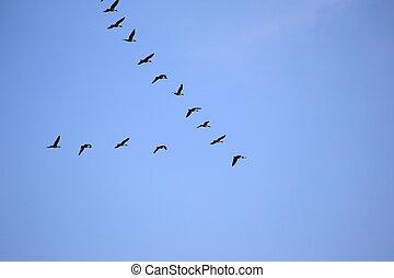 grijs, vlucht, geese