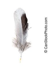 grijs, vrijstaand, achtergrond, veer, duif, witte