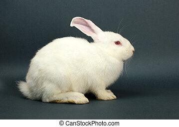 grijs, wit konijn, achtergrond