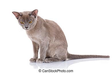 grijs, witte achtergrond, kat