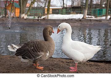 grijs, witte , geese