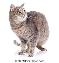 grijs, witte , vrijstaand, cat., spelend