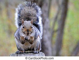 grijze eekhoorn
