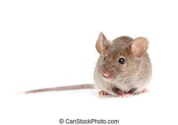 grijze , muis, vrijstaand, op wit