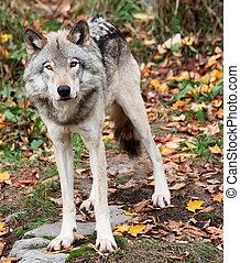 grijze wolf, kijken naar van het fototoestel, op, een, vallen dag