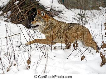 grijze wolf