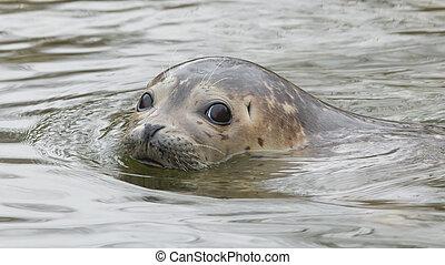 grijze , zeehondje, zwemmen