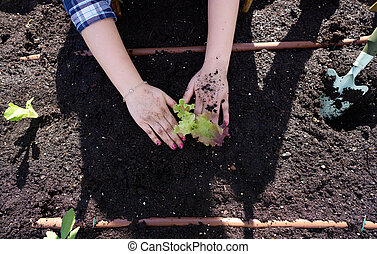 Gril hands planting lettuce in orchard urban garden