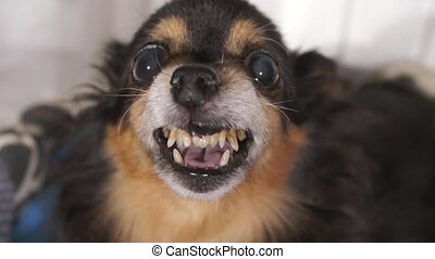 Grin of a small cute dog - Funny grin of a small dog