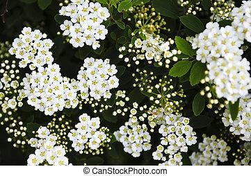 grinalda, nupcial, flores, arbusto