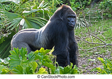Grinning Gorilla - A large silverback - looks like he's ...