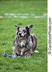 gris, australian-shepherd-mix, chien