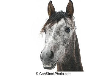 gris, caballo árabe, aislado, blanco