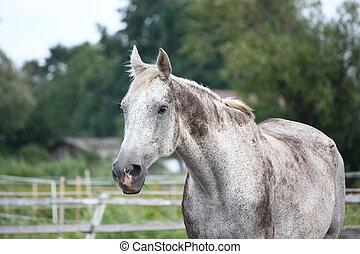gris, caballo, casta, letón