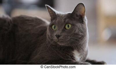 gris, chat repos, plancher