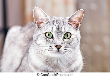 gris, chat tabby
