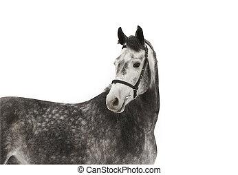 gris, cheval