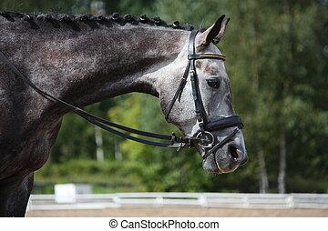 gris, cheval, sport, portrait