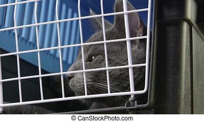 gris, chouchou, décontracté, chat, porteur, prêt, figure, cage, voyage