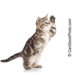 gris, derecho, encima, casta, gato, plano de fondo, escocés, gatito, blanco, juego, velloso