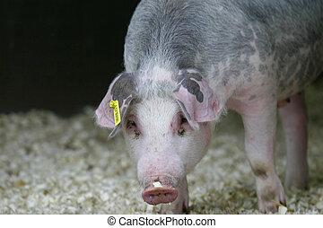gris, fläsk, tamdjur, lantbruk