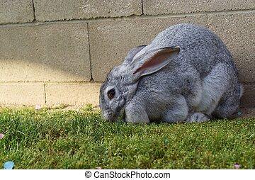 gris, flojo, eared, conejito de pascua, conejo