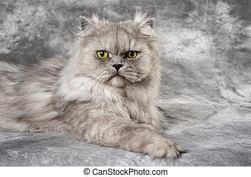gris, gato persa